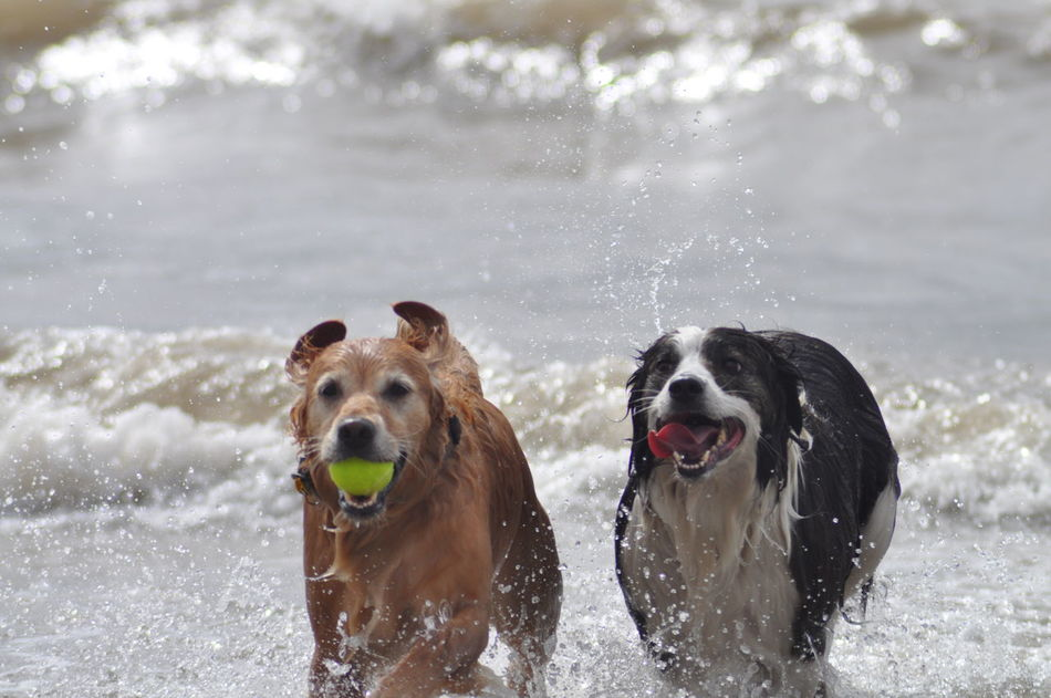 Golden Retriever Border Collie Sea Surf Run Enjoying Life Beach Dogsonthebeach Play