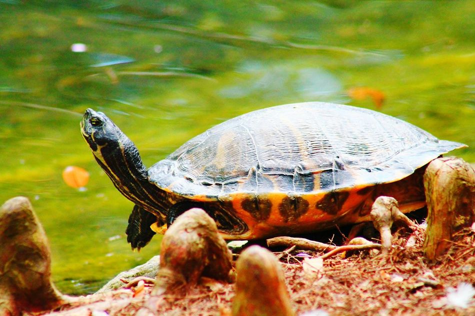 Beautiful stock photos of turtle, Animal Shell, Animal Themes, Animals In The Wild, Close-Up