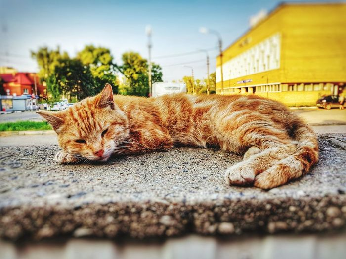 The cat cozy in this warm evening. So good that I looked at it only for a second and continued to sleep. Domestic Cat One Animal Animal Themes Feline Lying Down Sleeping Pets Domestic Animals Relaxation Mammal No People Day Portrait Ginger Cat Outdoors Sky Close-up The Week On EyeEm