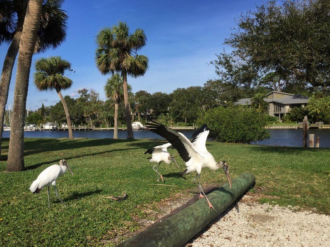 Wood storks in the park Wood Stork Melbourne Florida Ballard Park Animal Wildlife Wading Birds Spread Wings No People Palm Tree