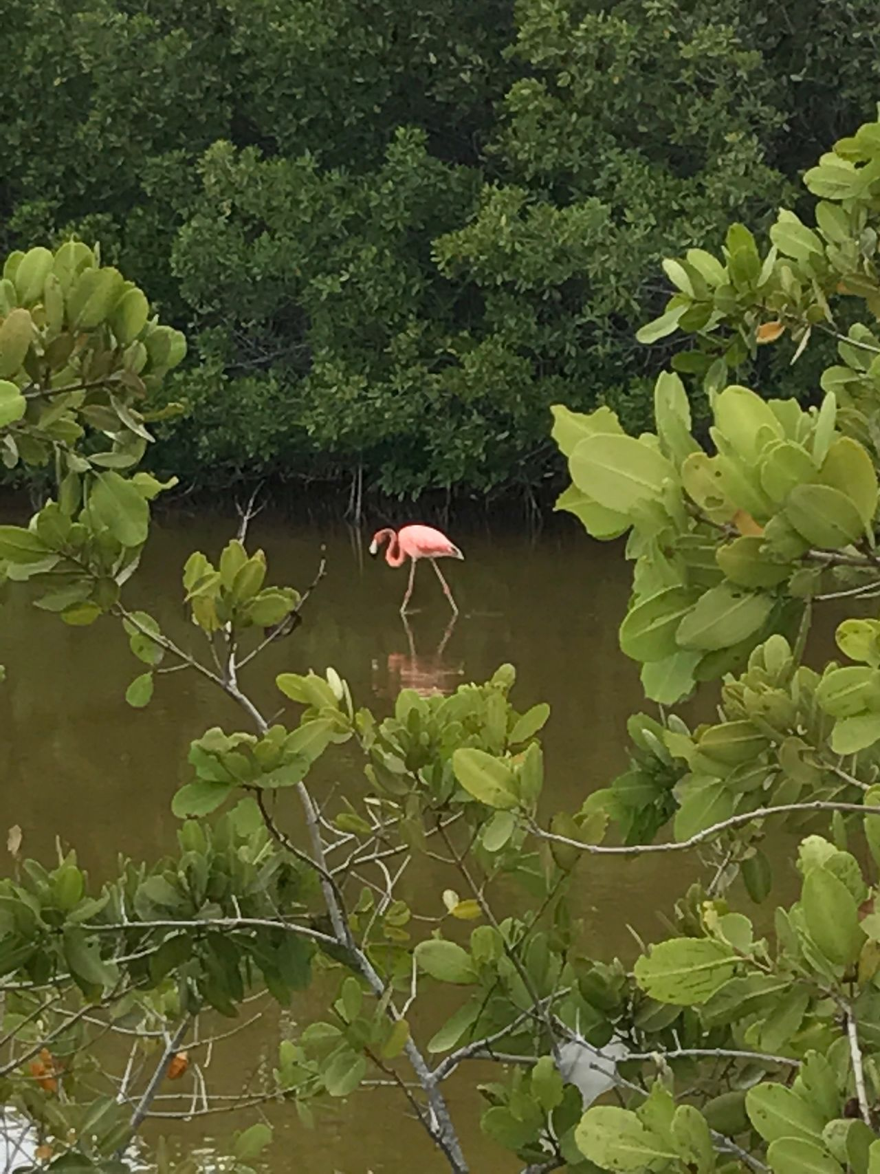 Flamingo in the Mangrove Swamps. Cayo Guillermo, Cuba. EyeEmNewHere Cayo Guillermo, Cuba Cuba Caribbean Flamingo Mangrove Swamp Mangroves Bird Photography