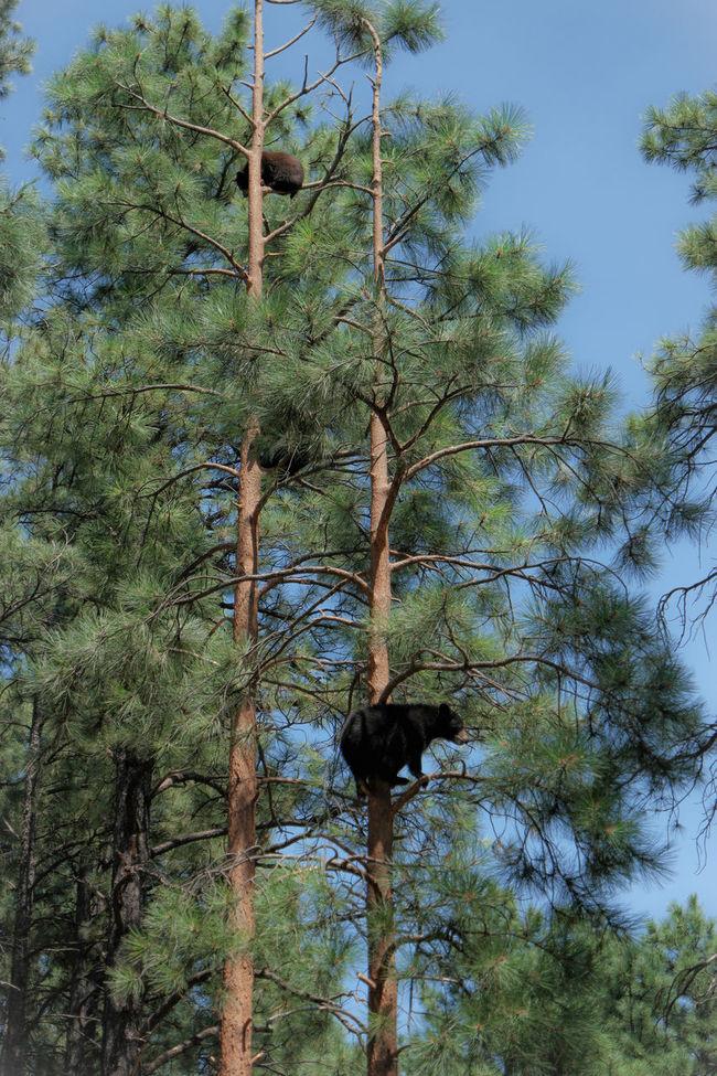 Baby Bears in Bearizona Wildlife Park Baby Bear Bear Bear On A Tree Bearizona Beauty In Nature Growing Nature Tree