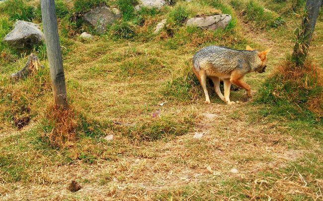Wild Zoo Nature Animal Animals Cajamarca Peru Wildlife & Nature Wildlife Vacation Grass Fox Get Away Go Away Turn Outdoors