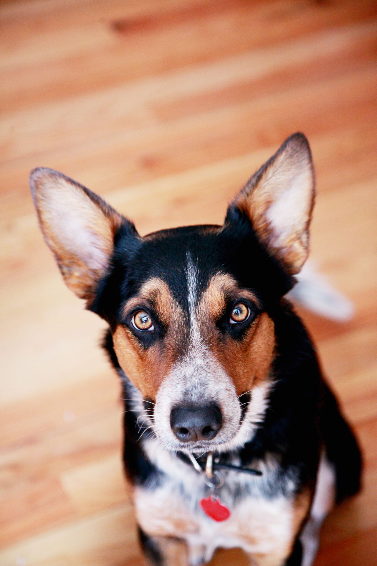 Animal Animal Themes Blue Heeler Border Collie Brown Eyes Cute Dog Eyes Family Looking At Camera Love Mixed Breed Mutt No People One Animal Pets Puppy