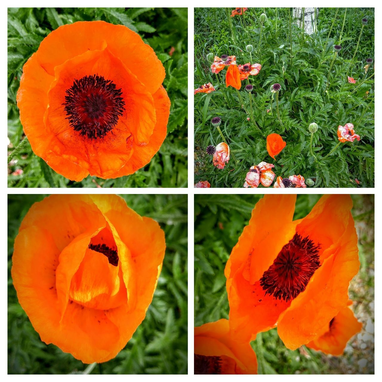 Poppies, Poppies Will Put Them To Sleep...sleep, Now They'll Sleep LG G4