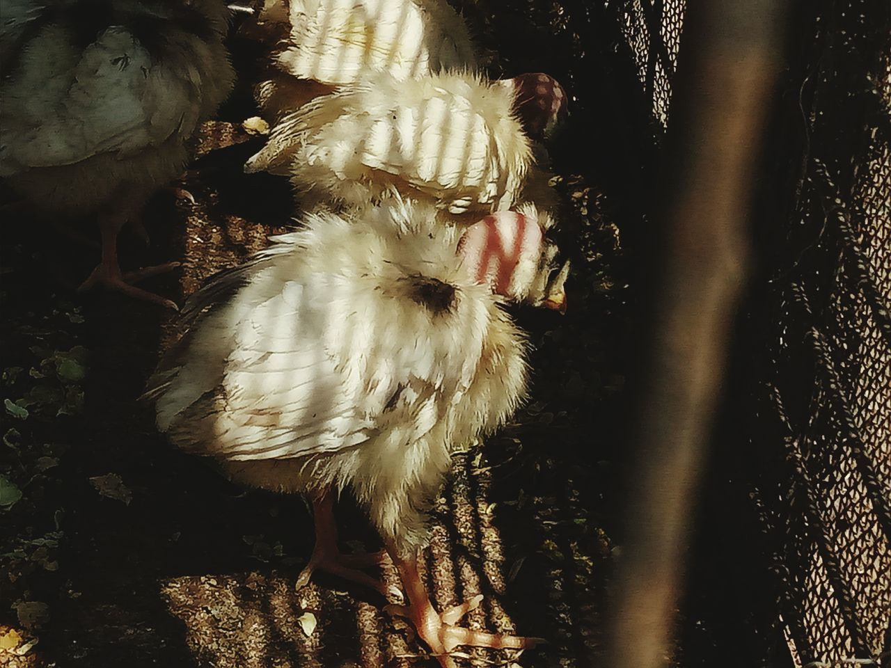 Chicks Chickens Hen Cute♡ Breeding Feeding  Bunch Life Lifestyles Love Bald Bald Hen Fur Cage Long Goodbye EyeEmNewHere EyeEm Diversity The Secret Spaces Resist Live For The Story BYOPaper! The Great Outdoors - 2017 EyeEm Awards Visual Feast