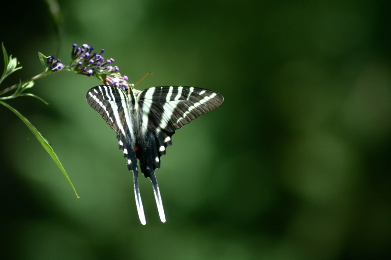 Zebra swallowtail Insect Butterfly - Insect Butterfly Close-up Beauty In Nature Charlotte Zebraswallowtail