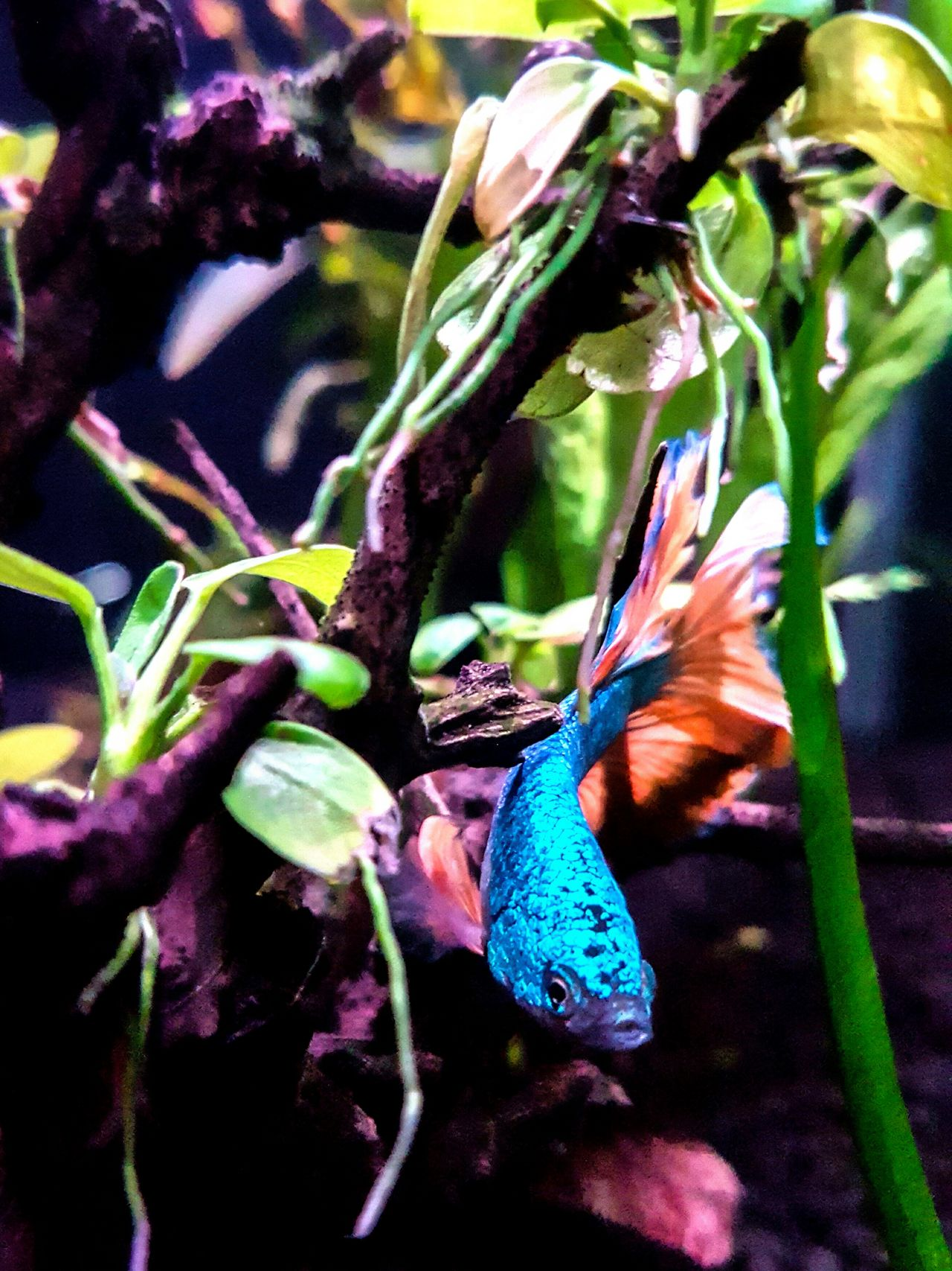 Betta Fish Bettasiamesefish Bettasplendens Betta Lovers Bettafishcommunity Color Explosion Colourful Bettasofinstagram Bettacommunity Aquarium Life Beauty In Nature Aquarium Photography Close-up