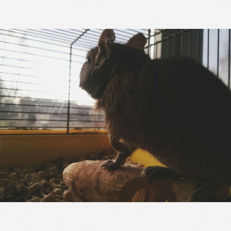 Degu MyLove❤ Taking Photos Marichuja Check This Out Enjoying Life