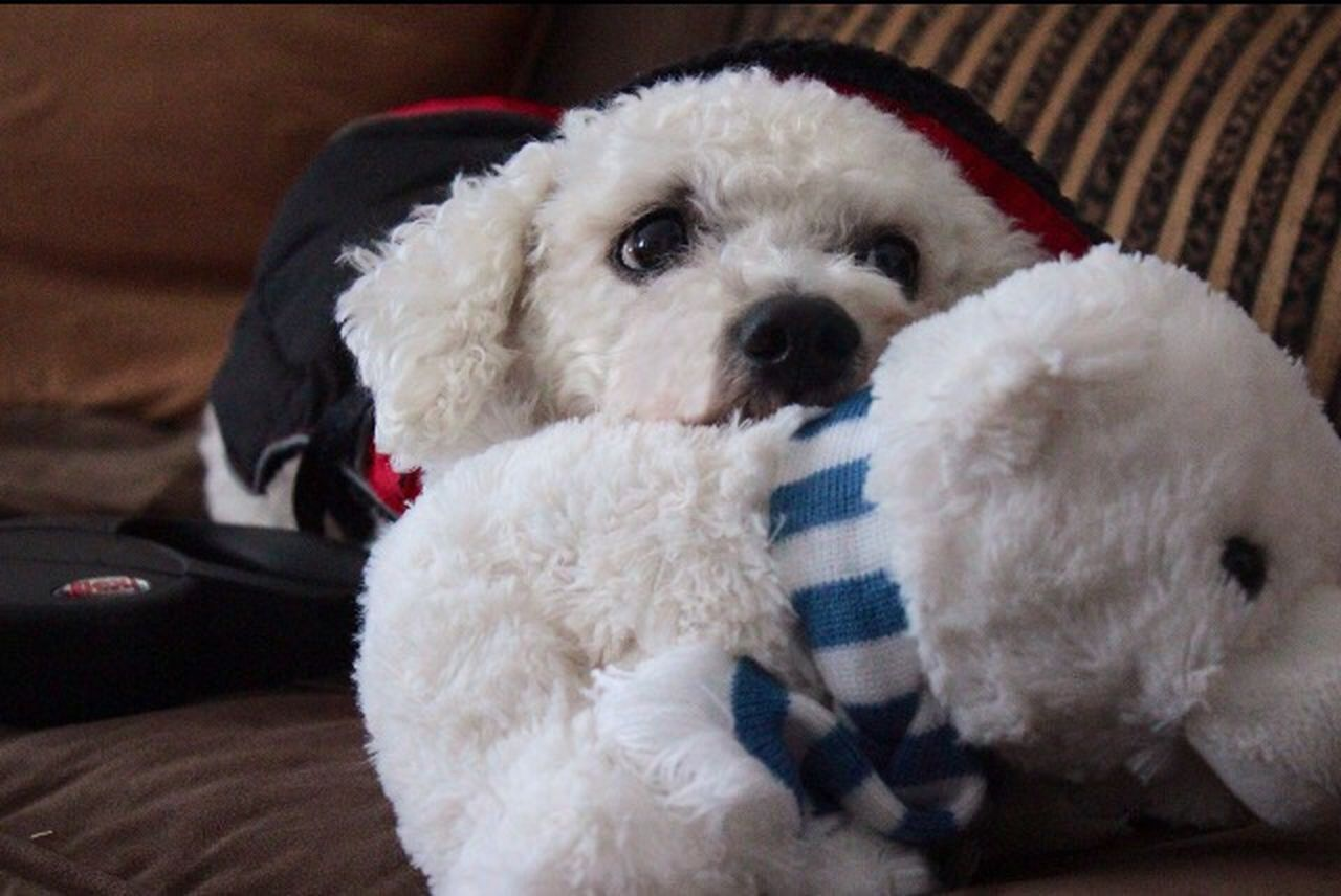 Always Be Cozy Harry Bichonfrise White Dog Wintertime