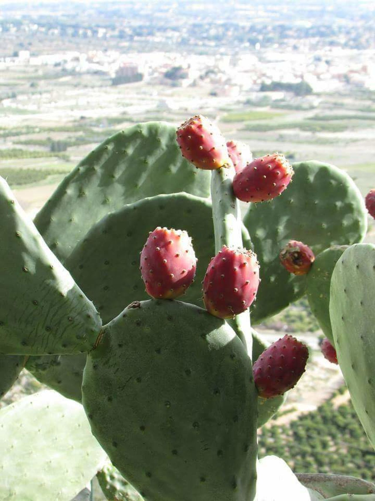 Nature No People Cactus Fruit Outdoors Prickly Pear Cactus Day Growth Beauty In Nature Green Color Food And Drink Close-up Sunlight Tranquility Beach Freshness Food Cold Temperature Sky