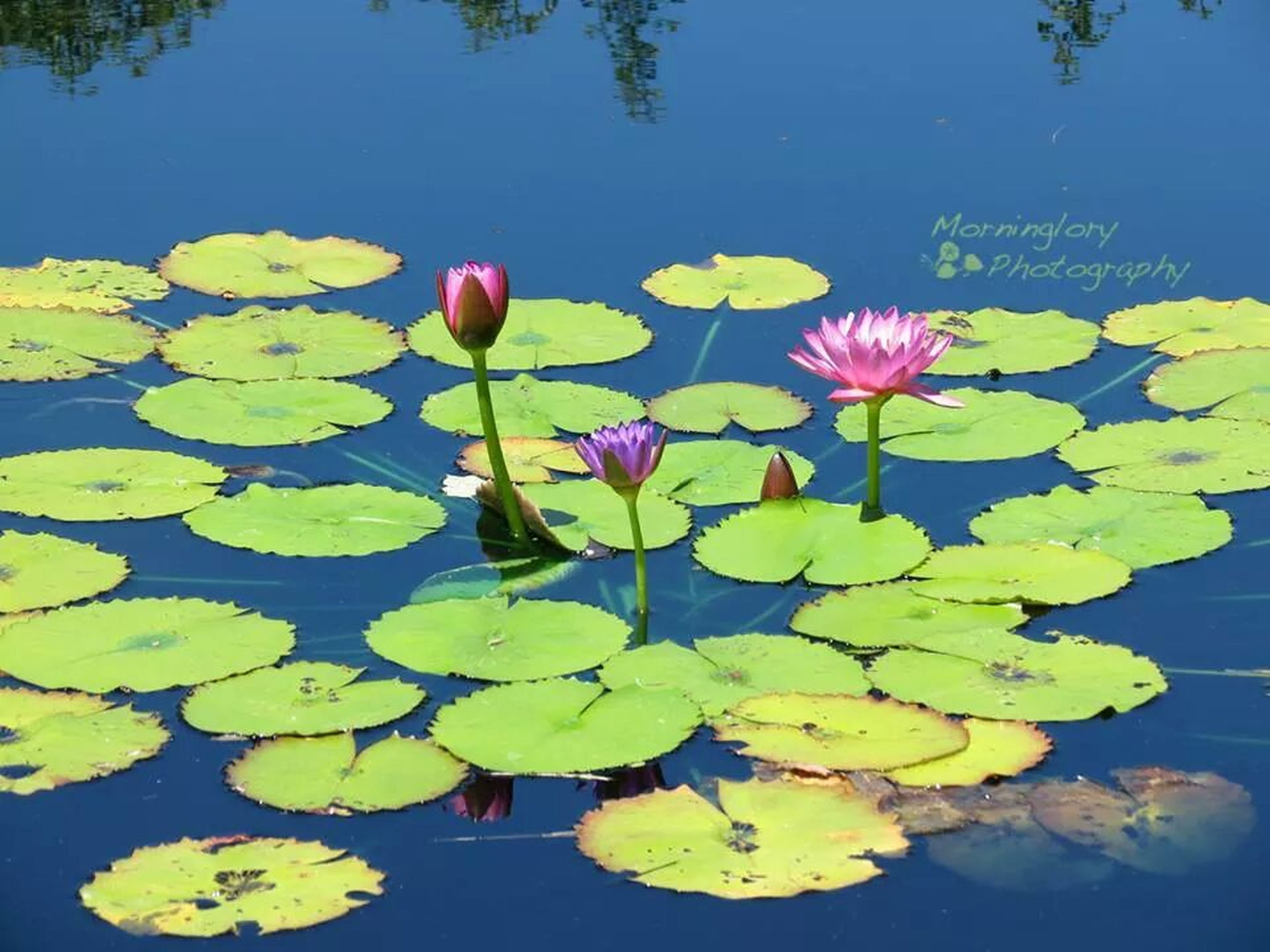 leaf, flower, water, water lily, growth, floating on water, freshness, beauty in nature, pond, fragility, petal, nature, plant, lake, reflection, green color, lotus water lily, flower head, blue, yellow