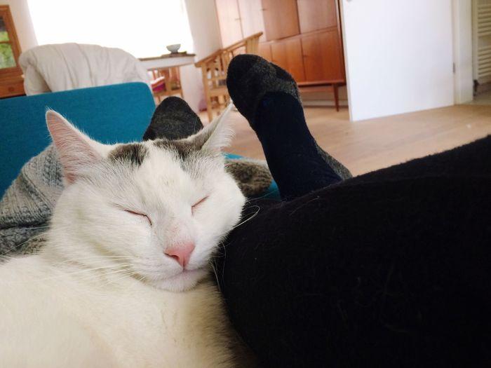 Domestic Cat Pets Indoors  Domestic Animals Animal Themes Home Interior Mammal Feline Cat Relaxation Lying Down One Animal Human Leg
