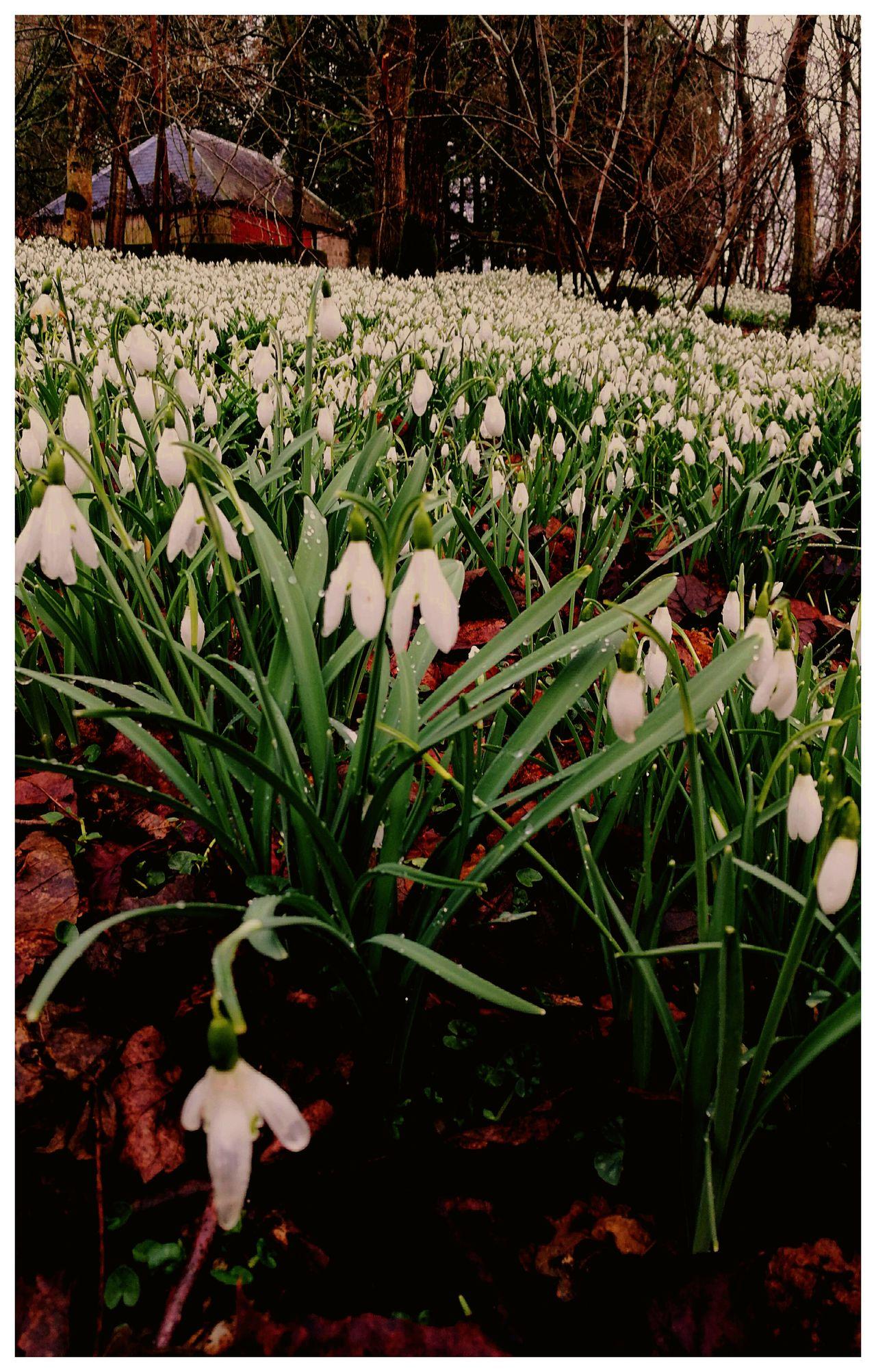 countryside woodland tree Snowdrops🌱 Abundance Of farmland estate Glamis Scotland Walksintheforest Spring Time seasonal