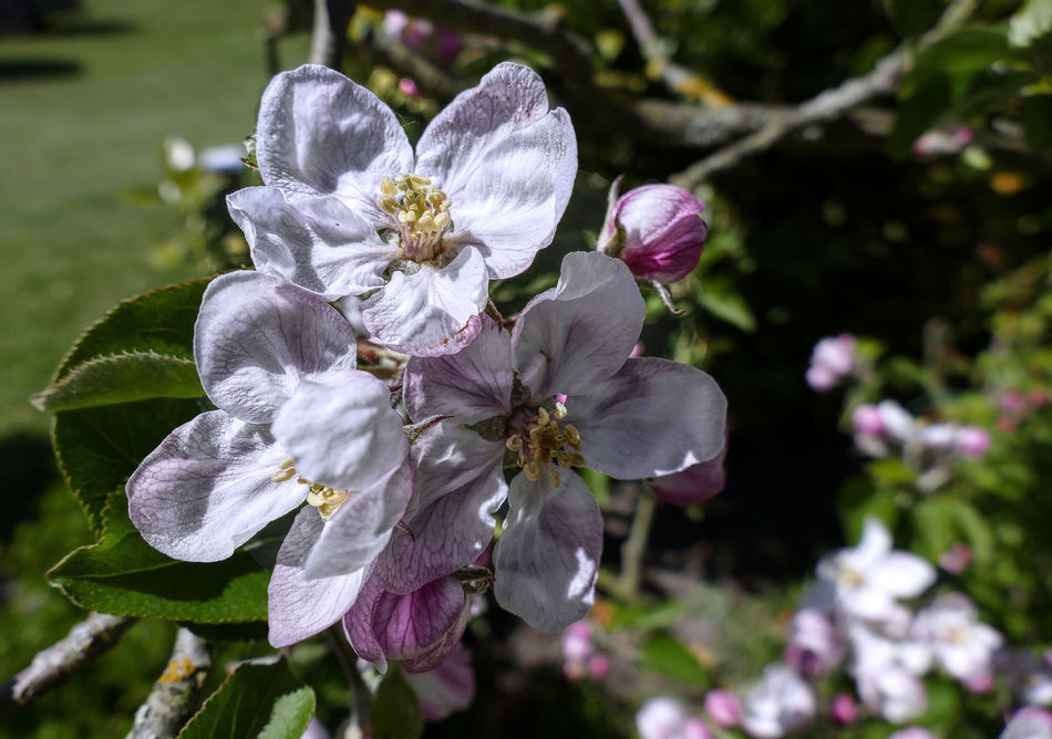 blooming apple blossoms close-up Affinity Photo Apple Blossom Beauty In Nature Blooming Blooming Flowers Close-up Day Flower Flower Head Fragility Freshness Fruit Growth Nature No People Outdoors Petal Pistils Pistils And Stamens Pistils Of Flowers Stamens Tonemapping
