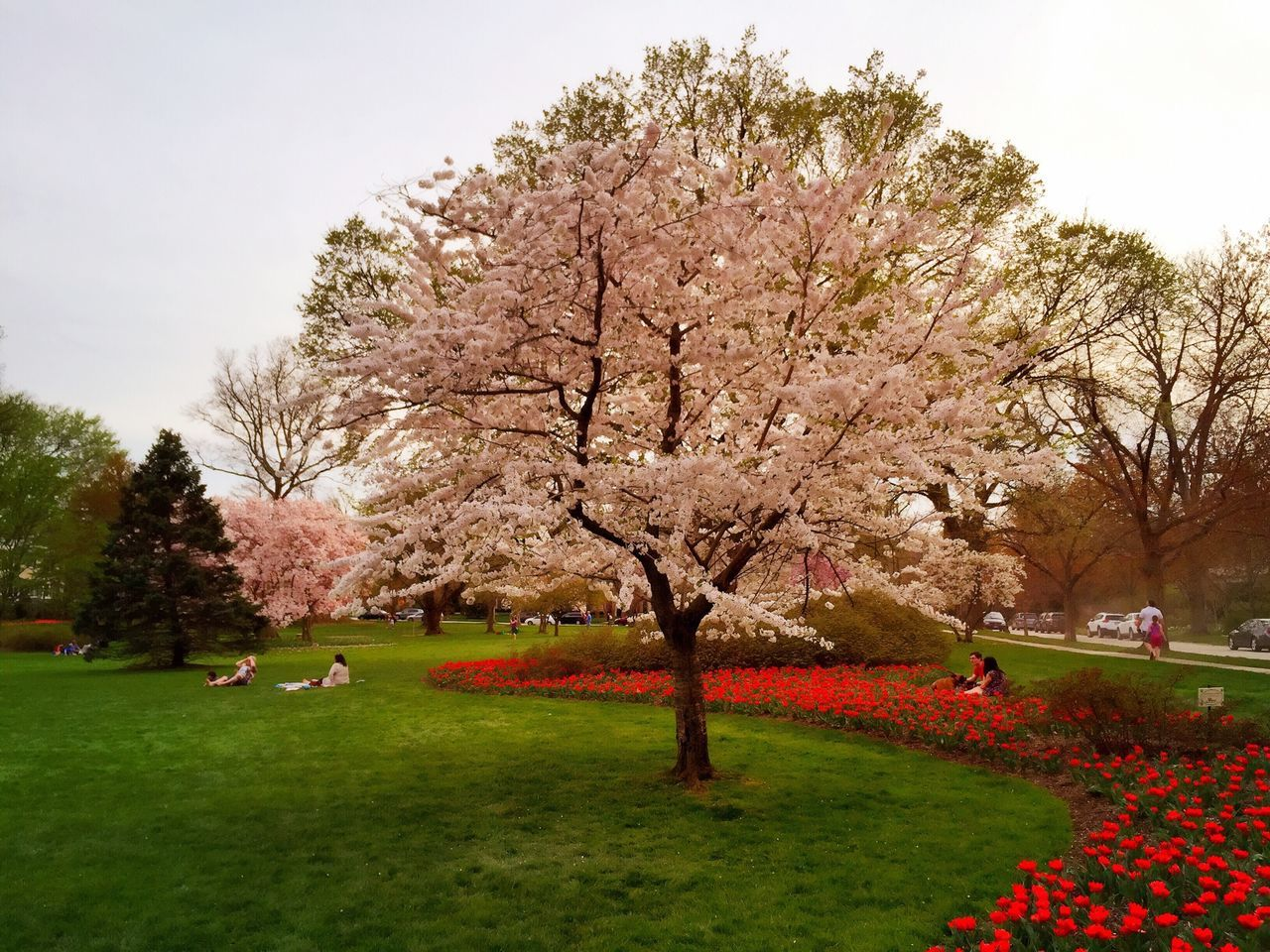 Beautiful stock photos of cherry, , Baltimore, Cherry Blossom, Cherry Tree