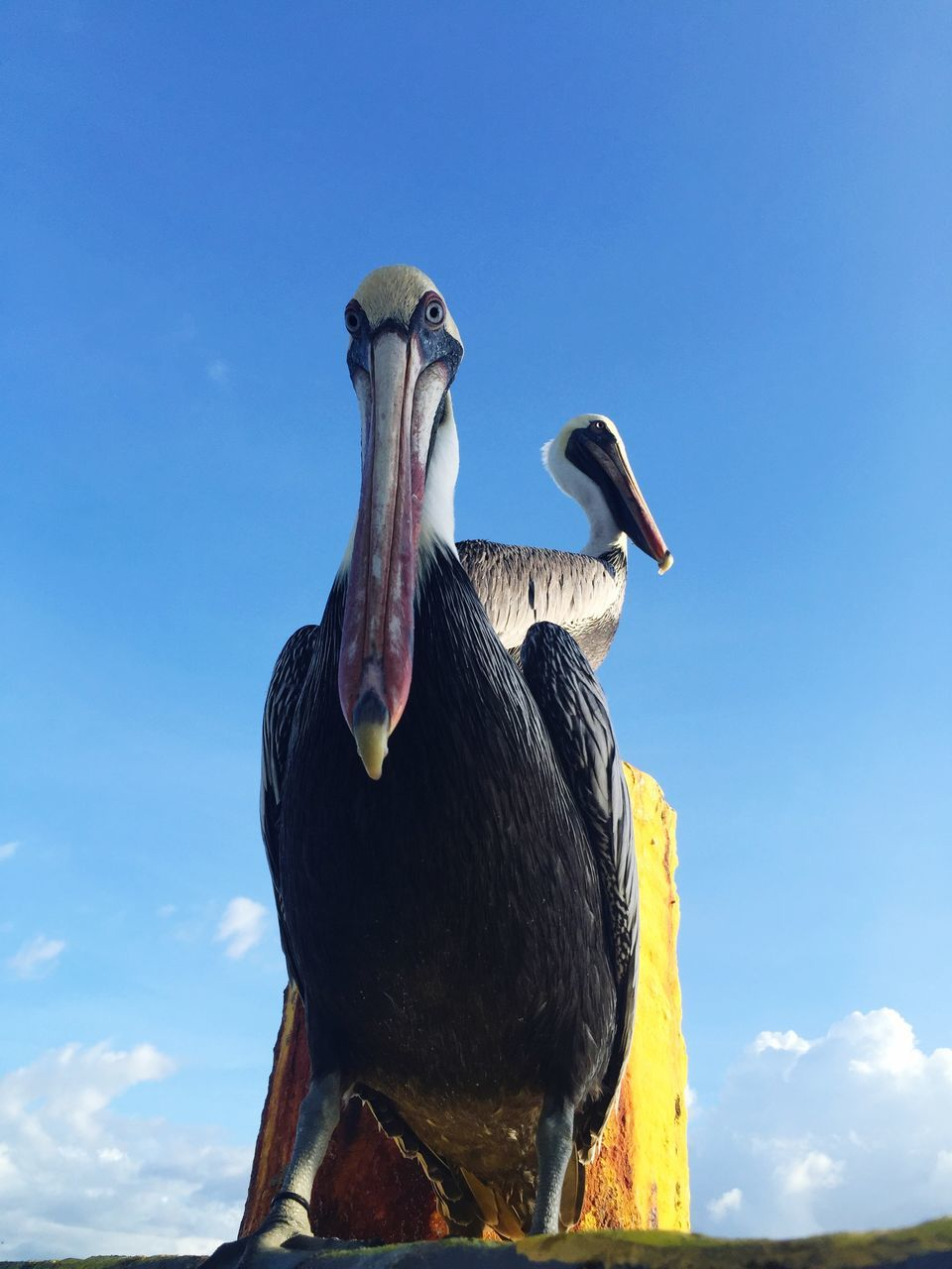 Close-Up Of Pelicans Against Sky
