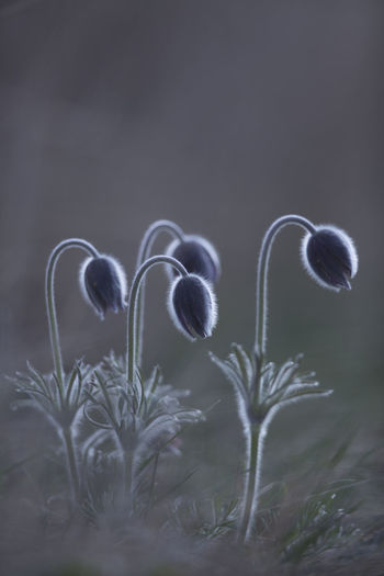 Black pasque flower / Pulsatilla pratensis subsp. nigricans [Canon EF 300mm f/2.8 L IS II USM] Beauty In Nature Close-up Day Flower Flower Head Fragility Freshness Growth Nature No People Outdoors Pasque Flower Plant Spring Flowers Springtime