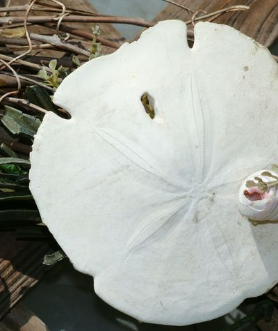 Sealife Sanddollar Floridaliving  Shells On Wood Seabiscuit