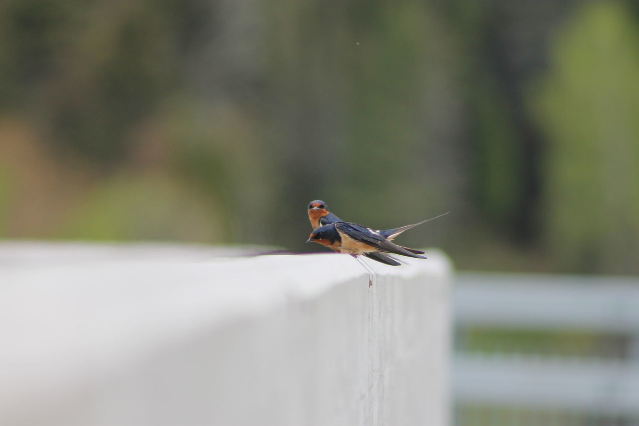 Barn Swallow cruising Animal Themes Animal Wildlife Animals In The Wild Beauty In Nature Bird Close-up Day Focus On Foreground Nature No People One Animal Outdoors Perching Railing Retaining Wall Robin Saguenay, Québec, Canada Selective Focus The Great Outdoors - 2017 EyeEm Awards
