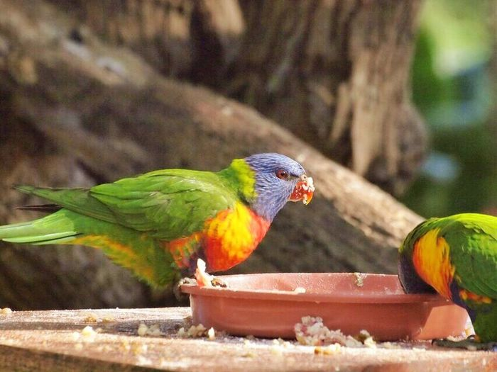 Rainbowlorikeet Australia Australianbirds Colourful Bestoftheday