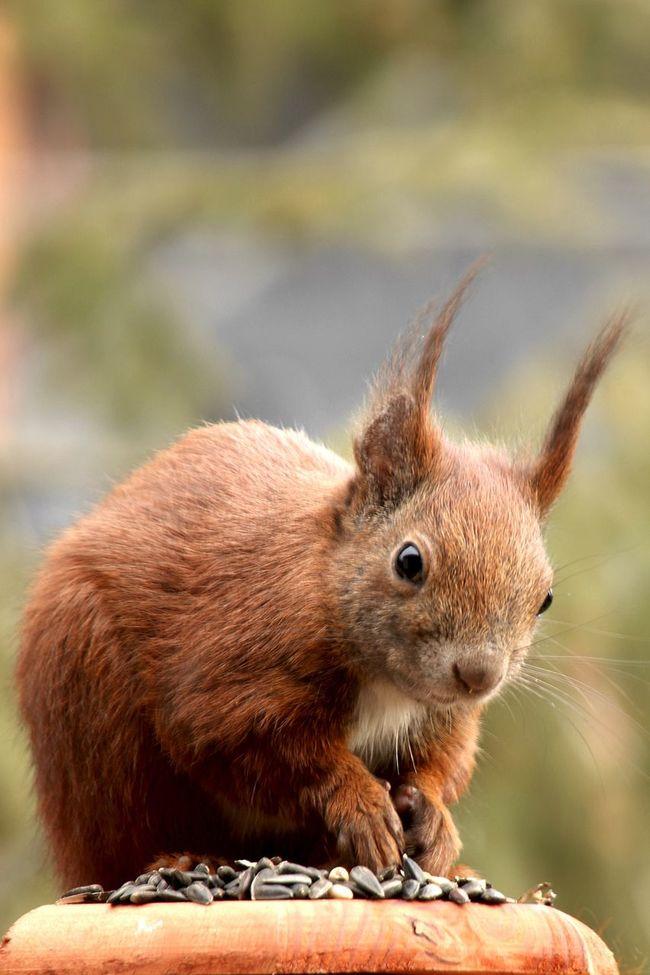 Squirrel Eichhörnchen Animals Open Edit EyeEm Best Shots EyeEm Masterclass Tadaa Community AMPt_community