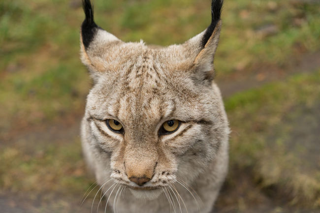 Alertness Animal Animal Head  Animal Themes Close-up Curiosity Depth Of Field Domestic Animals Focus On Foreground Front View Looking At Camera Lynx Mammal No People One Animal Pets Portrait Relaxation Relaxing Selective Focus Sitting Zoology