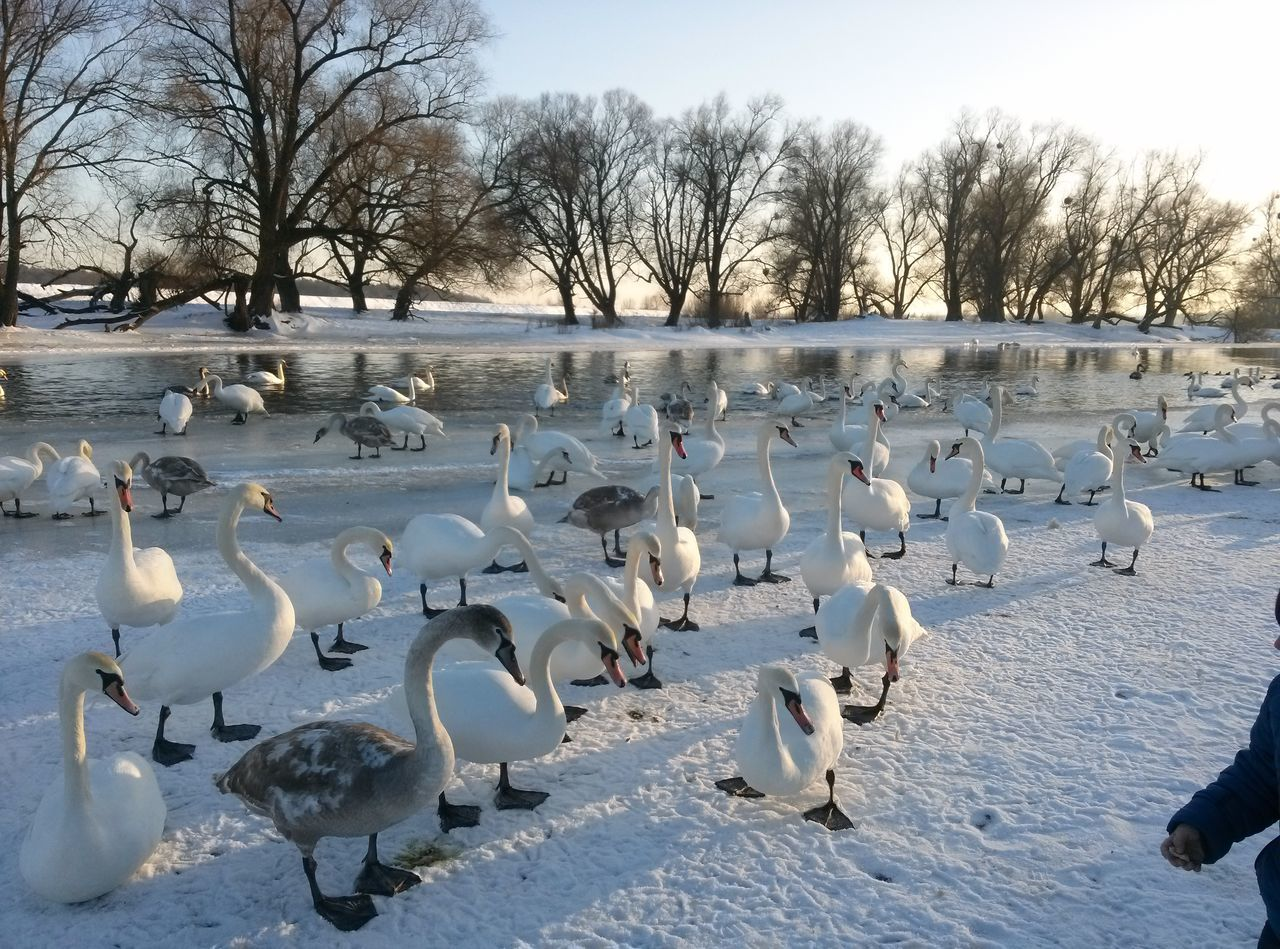 Animal Themes Animal Wildlife Baby Swans Beatiful Swans Beauty In Nature Bird Cold Temperature Large Group Of Animals Nature Nature Photography River Snow Snow And Swans Swan Swan Lake Swan River Swans Water Winter Winter Swans