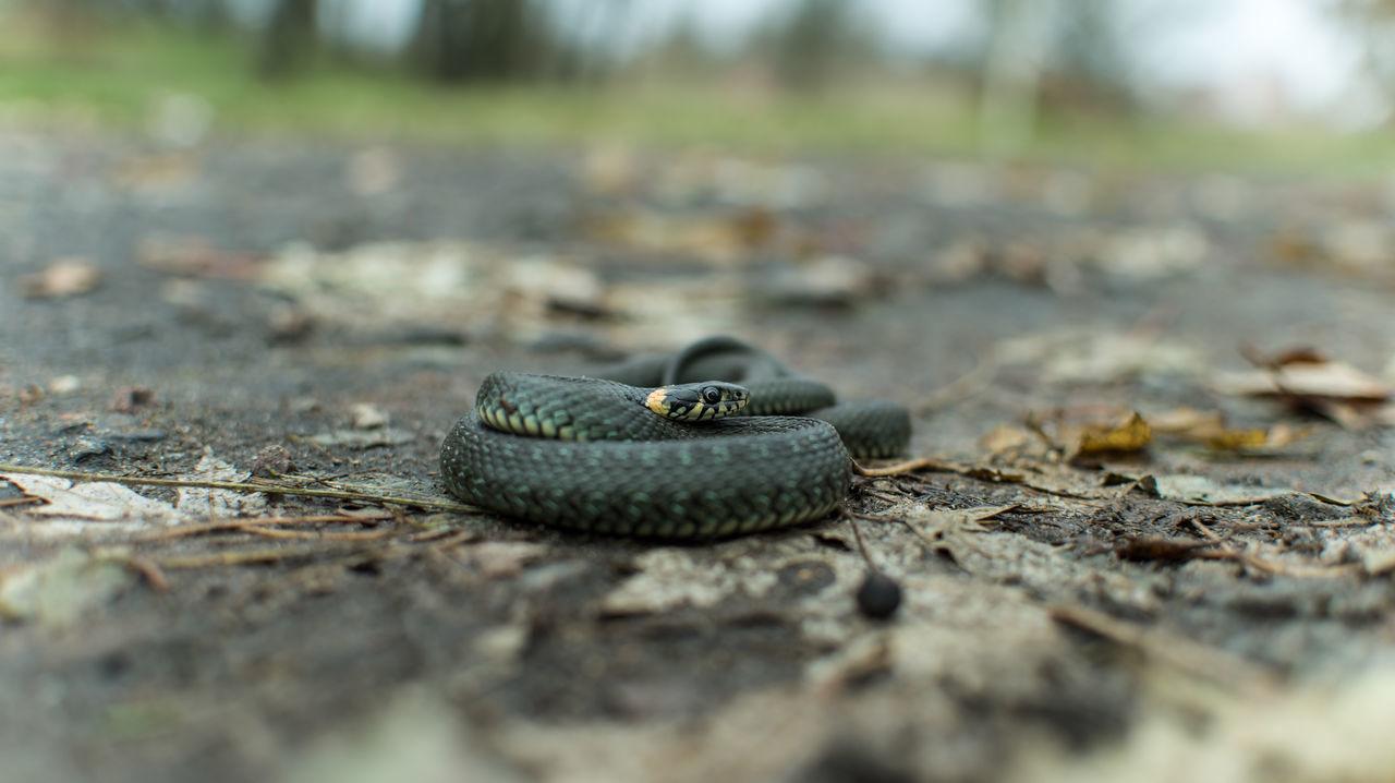 Animal Themes Animal Wildlife Animals In The Wild Nature One Animal Reptile Snake