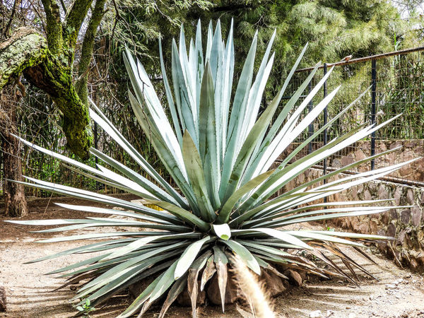 Full Frame Backgrounds No People Low Angle View Outdoors Day Close-up Nature Sky Plants Agave Agave Plant Close-up Nature EyeEm Selects Best Shots EyeEm Mexican