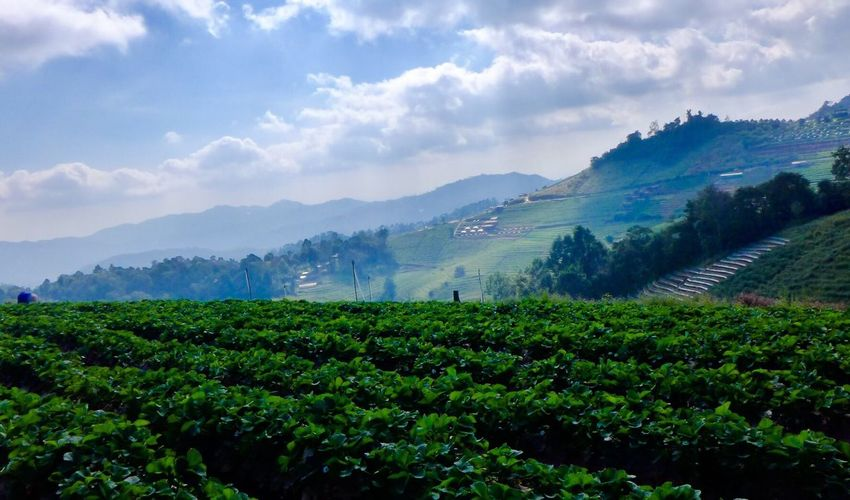 Mountain Landscape Scenics Mountain Range Tree Nature Beauty In Nature Green Color Sky Cloud - Sky Rural Scene Plantation Tea Crop Outdoors Growth Plant Tranquil Scene Agriculture No People Day Landscape_Collection Landscape_photography landscape