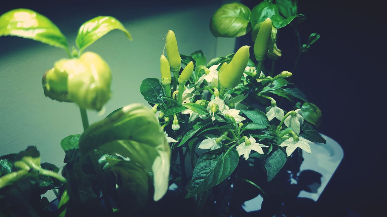 🌶️🌶️Chili peppers 🌶️🌶️ Growth Plant Leaf Peppers New Life Indoor Garden Indoor Gardening Green Color Freshness First Eyeem Photo
