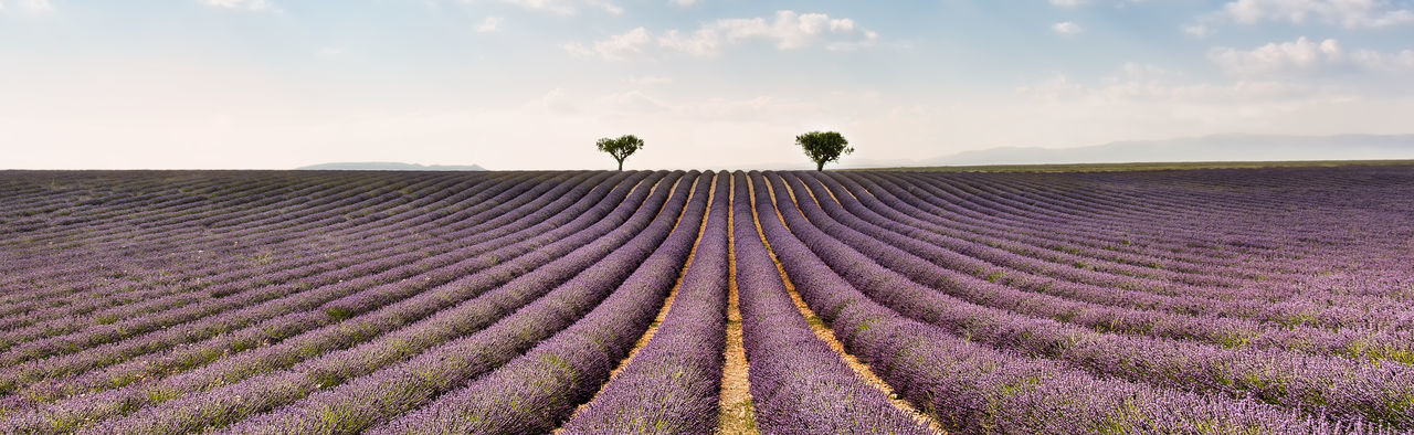 Lavender field, Valensole Beauty In Nature Day Field Flower Freshness In A Row Landscape Lavender Lavender Field Nature No People Outdoors Perfume Provence Purity Purple Rows Rural Scene Scenics Simmetry Sky South Of France Summer Tourist Travel