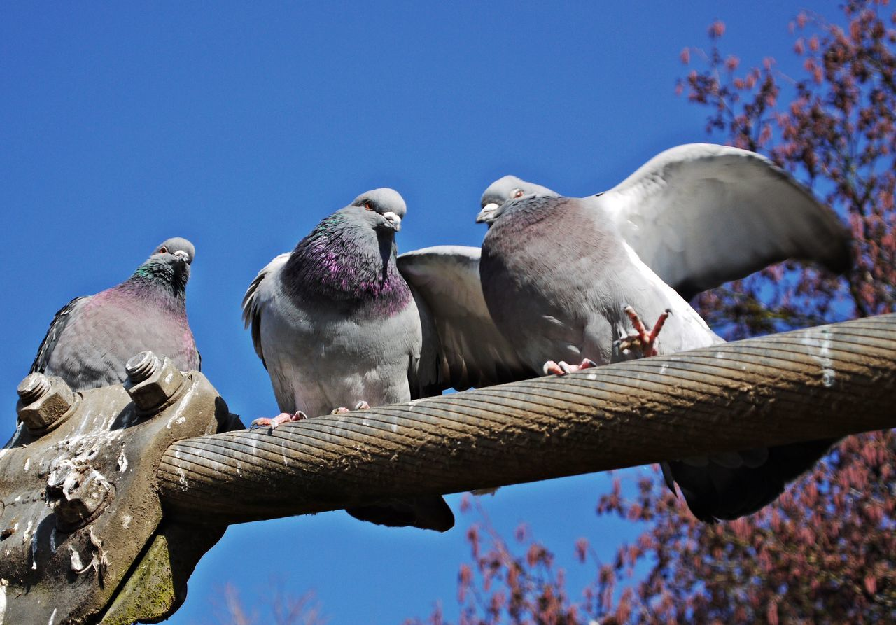 Animal Themes Animal Wildlife Animals In The Wild Bird Blue Branch Clear Sky Day Doves, Birds Low Angle View Nature No People Outdoors Perching Pigeonslife Sky Sunny Day Togetherness Tree