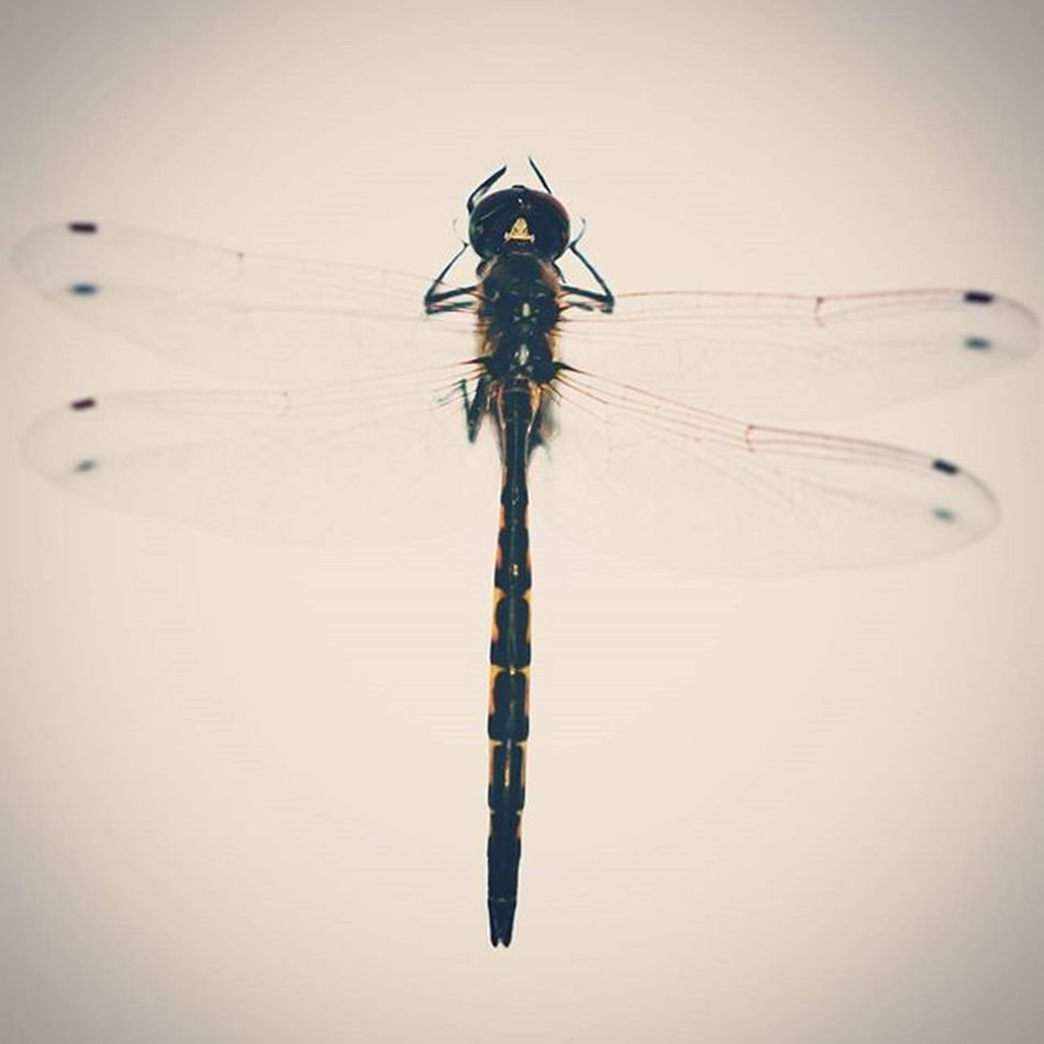 Lead_me_to_oblivion Dragonfly Macro Closeup Instect Nikon Photography Wings