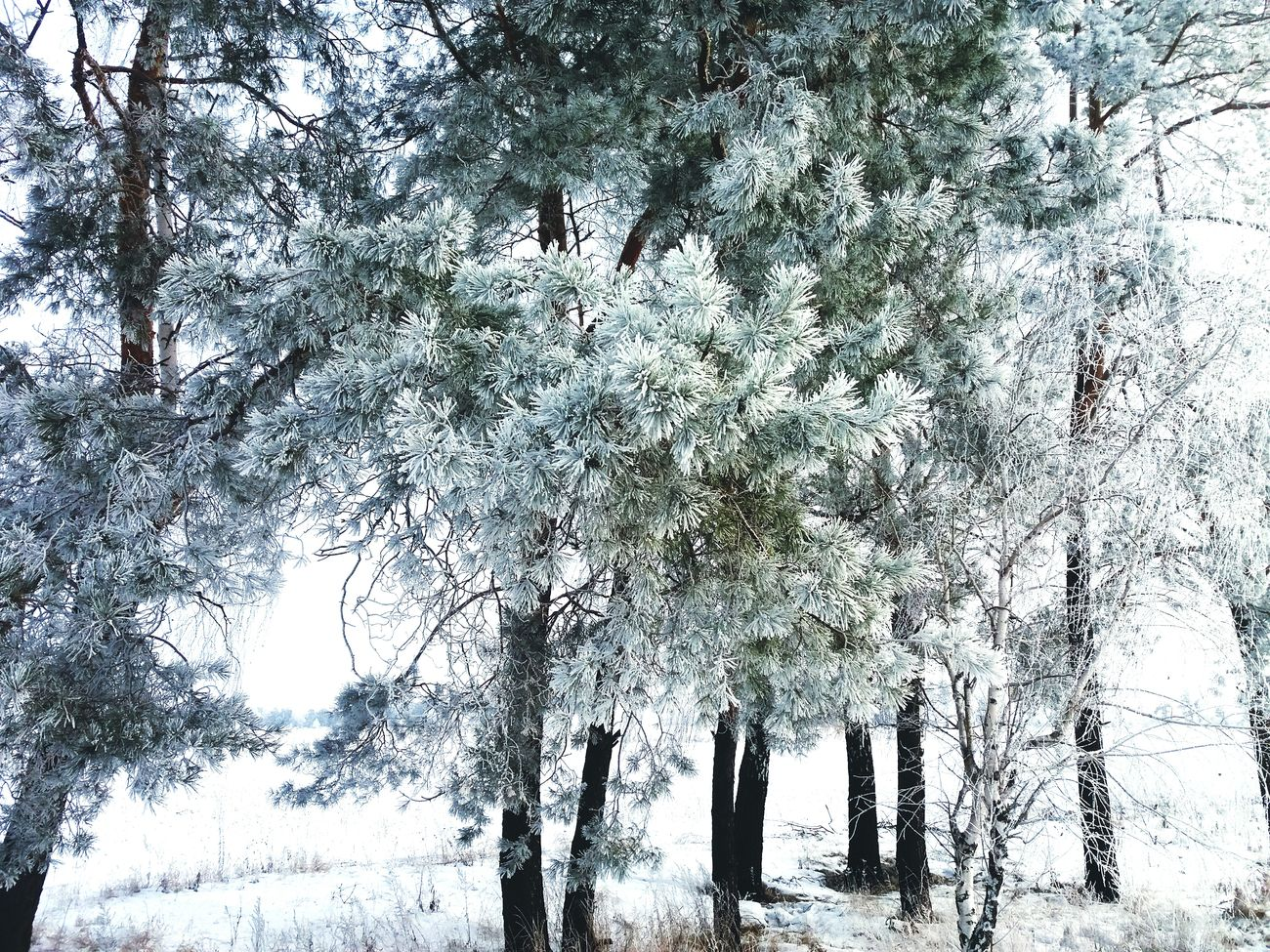 Trees Snow ❄ Phonephotography📱 Morning Landscape White Beauty In Nature No People Cold Temperature Freezingweather Forest Taking Photos