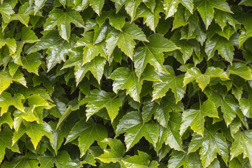 Green wall pattern of parthenocissus tricuspidata, close up Climb Exterior Natural Rural Rustic Backdrop Backgrounds Bush Cissus Close Up Cover Decorative Flora Foliage Freshness Garden Green Color Growth Ivy Leaf Nature Outdoors Pattern Plant Texture