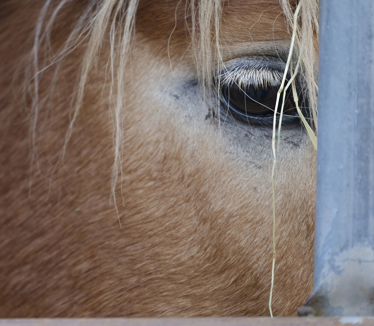 Animal Body Part Animal Themes Close-up Day Domestic Animals Eye Eye Of A Hors Horse Livestock Mammal Mane Nature No People One Animal Outdoors Working Animal