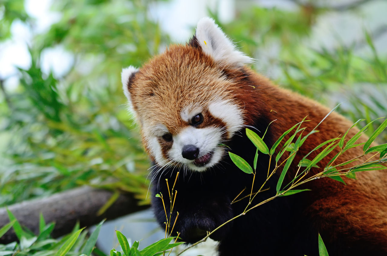 Red Panda Animal Themes Animal Wildlife Animals In The Wild Close-up Day Green Color Leaf Mammal Nature No People One Animal Outdoors Panda Panda - Animal Plant Red Panda