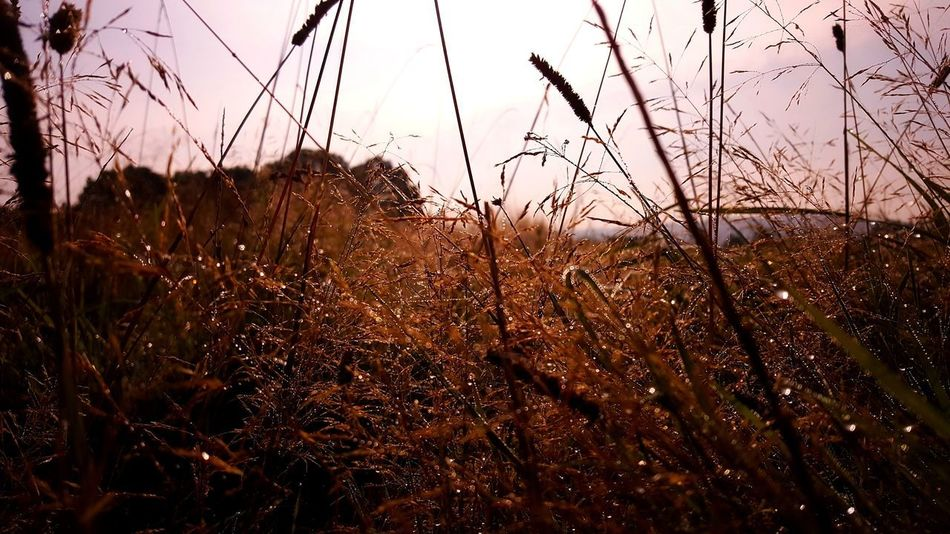 Beauty In Nature Close-up Field Grass Growth Morning Nature No People Outdoors Plant Scenics Sky Tranquility