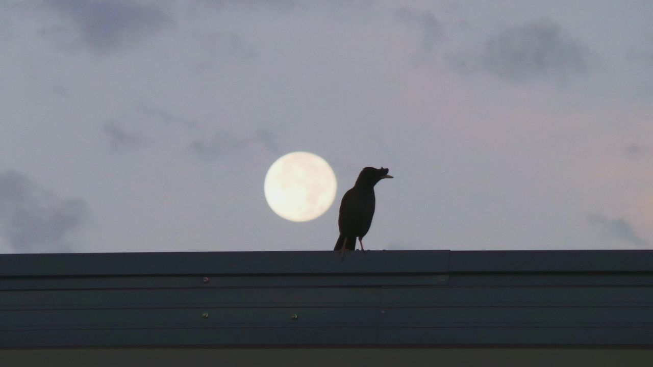 bird, one animal, animal themes, silhouette, nature, sky, animals in the wild, perching, crow, outdoors, low angle view, moon, no people, day