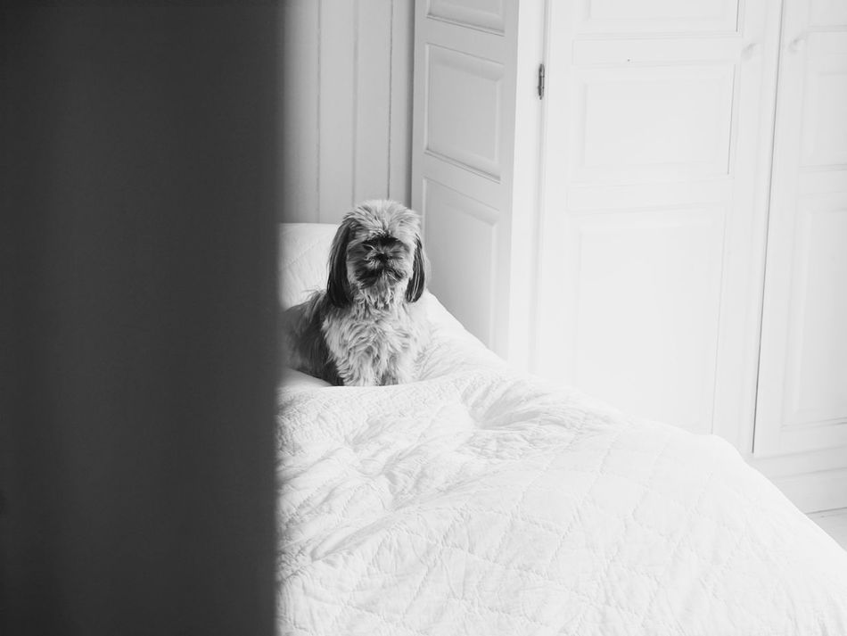 A dog sitting in bed Animal Themes Bed Bedroom Black Black & White Black And White Black And White Photography Blackandwhite Blackandwhite Photography Day Dog Dog Love Dogs Dogs Of EyeEm Dogslife Domestic Animals Home Interior Indoors  Looking At Camera Mammal Monochrome No People One Animal Pets Portrait