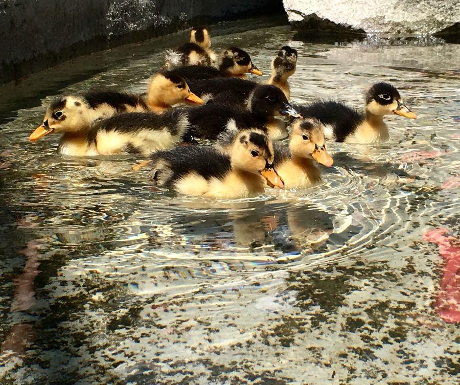 Ducks Patitos Baby Ducks Estanque Bebes Bonito Foto Del Dia Pic Of The Day Yellow Amarillo Negro Black