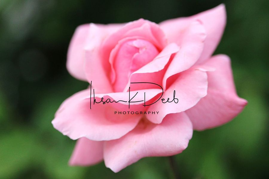 Pink Color Flower Nature Petal Fragility Beauty In Nature Close-up No People Flower Head Outdoors Summer Day Peony  Protruding Flamingo Signature My Signature