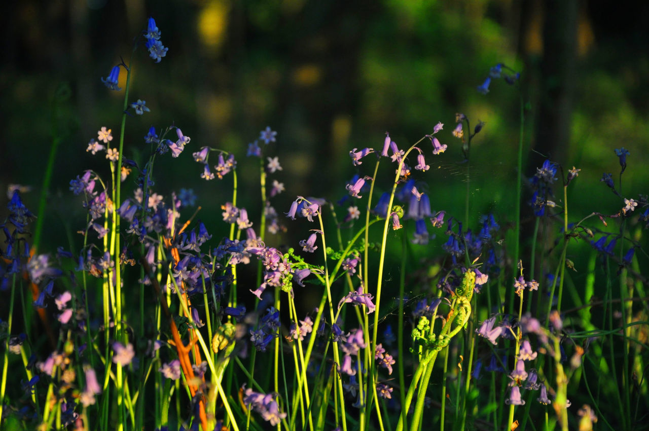 Bluebells Flowers Forget Me Not Landscape Nature Sunlight Warm WoodLand
