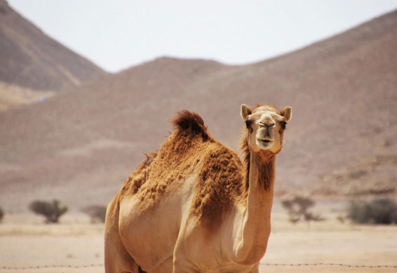 Beautiful stock photos of camel, Animal Themes, Animals In The Wild, Camel, Close-Up