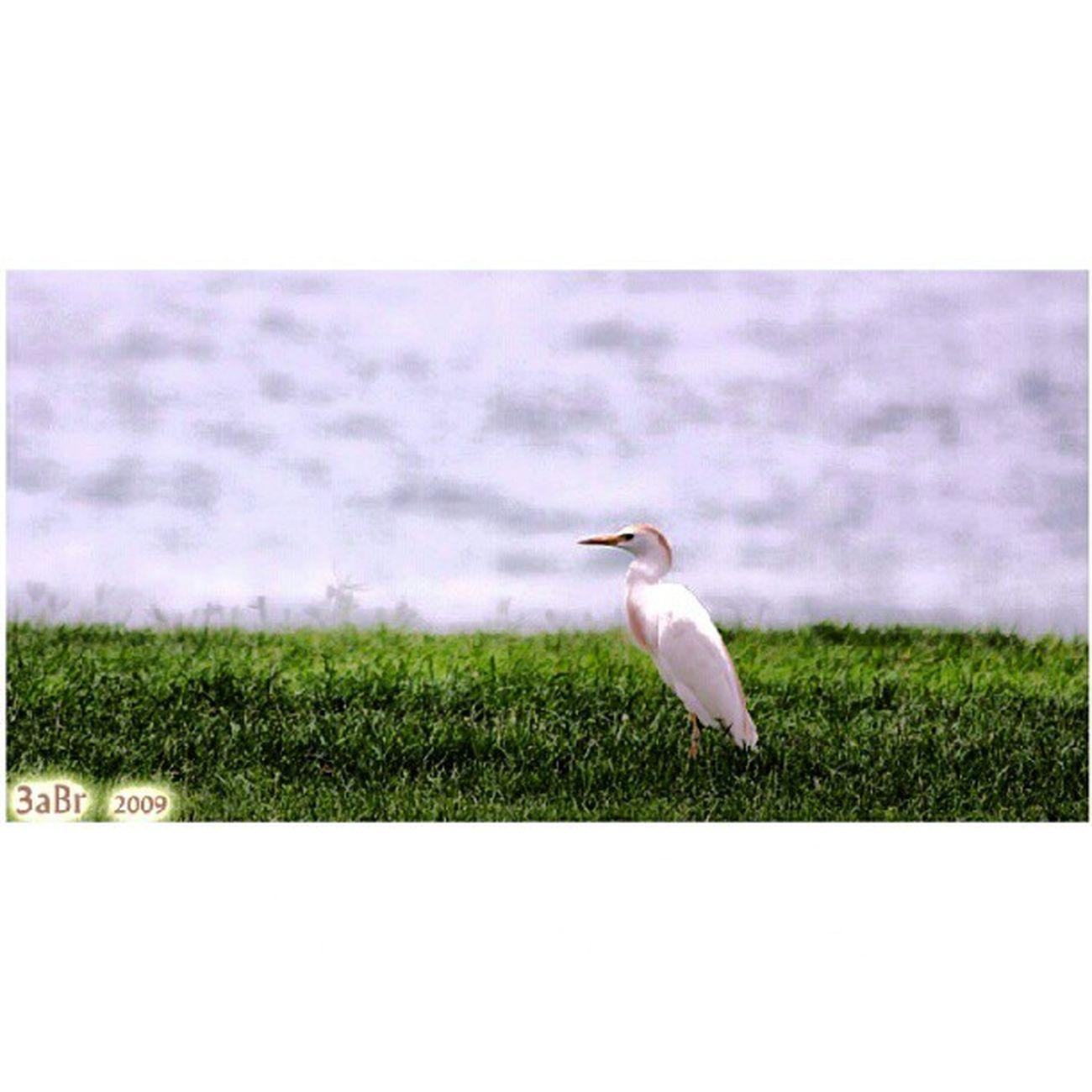 طائر الغرنوق كرنيش الفناتير الجبيل الصناعية المملكة العربية السعودية كانون 50d Bird Ahlgrenouk Corniche Fanateer Jubail Saudi Arabia Canon 50D x3abrr Flickr twittr facebook