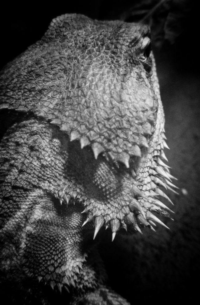 My Pet Pogona Monochrome Black & White Blackandwhite フトアゴ