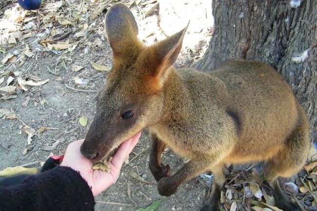 Animal Sanctuary Cangaroo Feeding Animals Mammal One Animal Personal Perspective Standing Wallaby