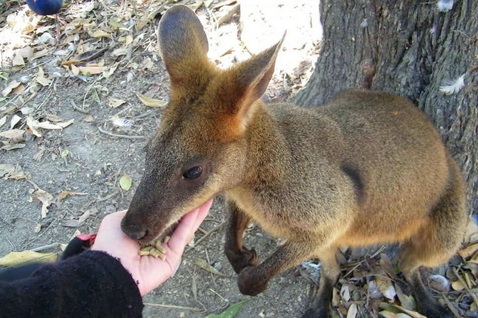 Animal Sanctuary Cangaroo Feeding Animals Mammal One Animal Personal Perspective Standing Wallaby
